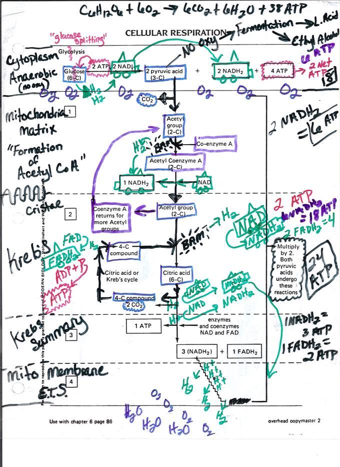 Printables Cellular Respiration Diagram Worksheet glycolysis worksheet plustheapp cellular respiration diagram and respiration
