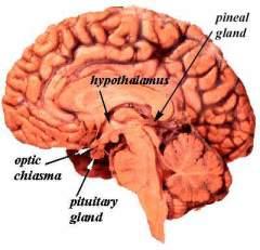 pituitary_gland