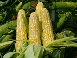 corn-featured-vegetable