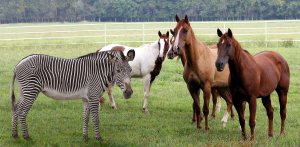 zebra-with-horses1